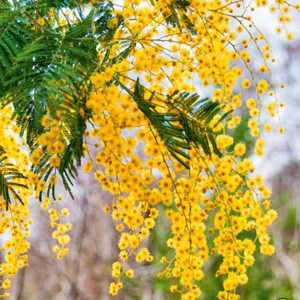 Beaut Baubles Golden Wattle