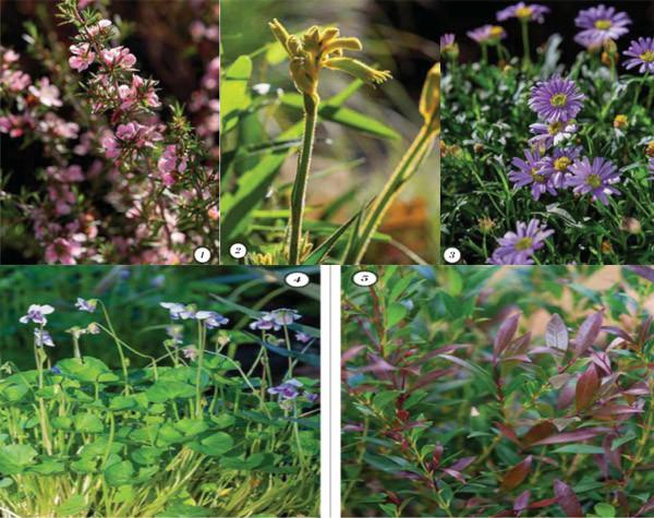 plants for native verge garden
