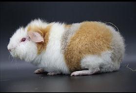 US Teddy Lilac Buff Weiß