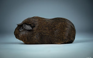 Engl. Crested Schwarz Rot Agouti