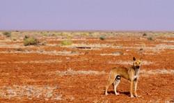 Arabana Dingo