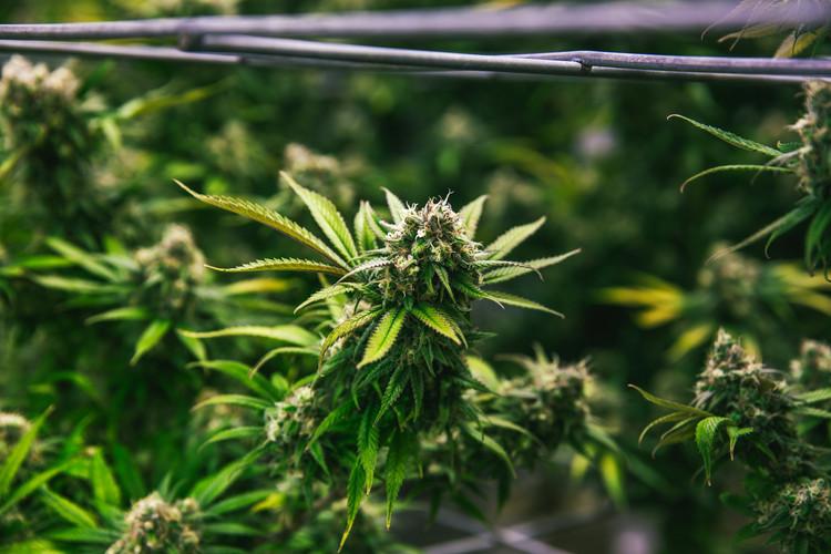 Premium Cannabis