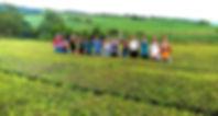 Plantação de Chá da Gorreana.jpg