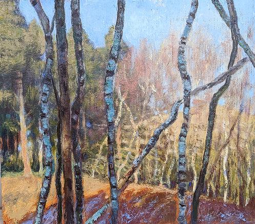 Silver Birch Grove, Early Morning
