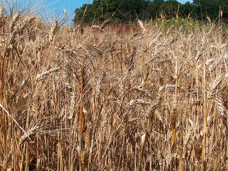 Wheat Farmers Welcome New Exports