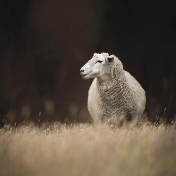 The Posing Sheep