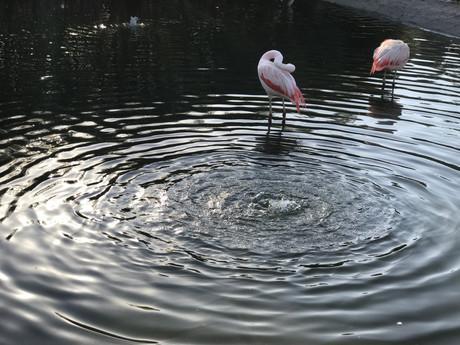 Flamingos of Santiago de Chile