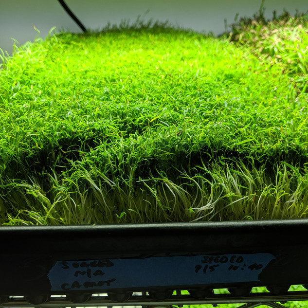 Geoponica Greens - Carrot