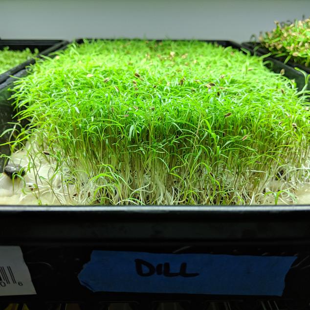 Geoponica Greens - Dill