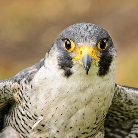 Peregrine Falcon MRS_9841.jpg