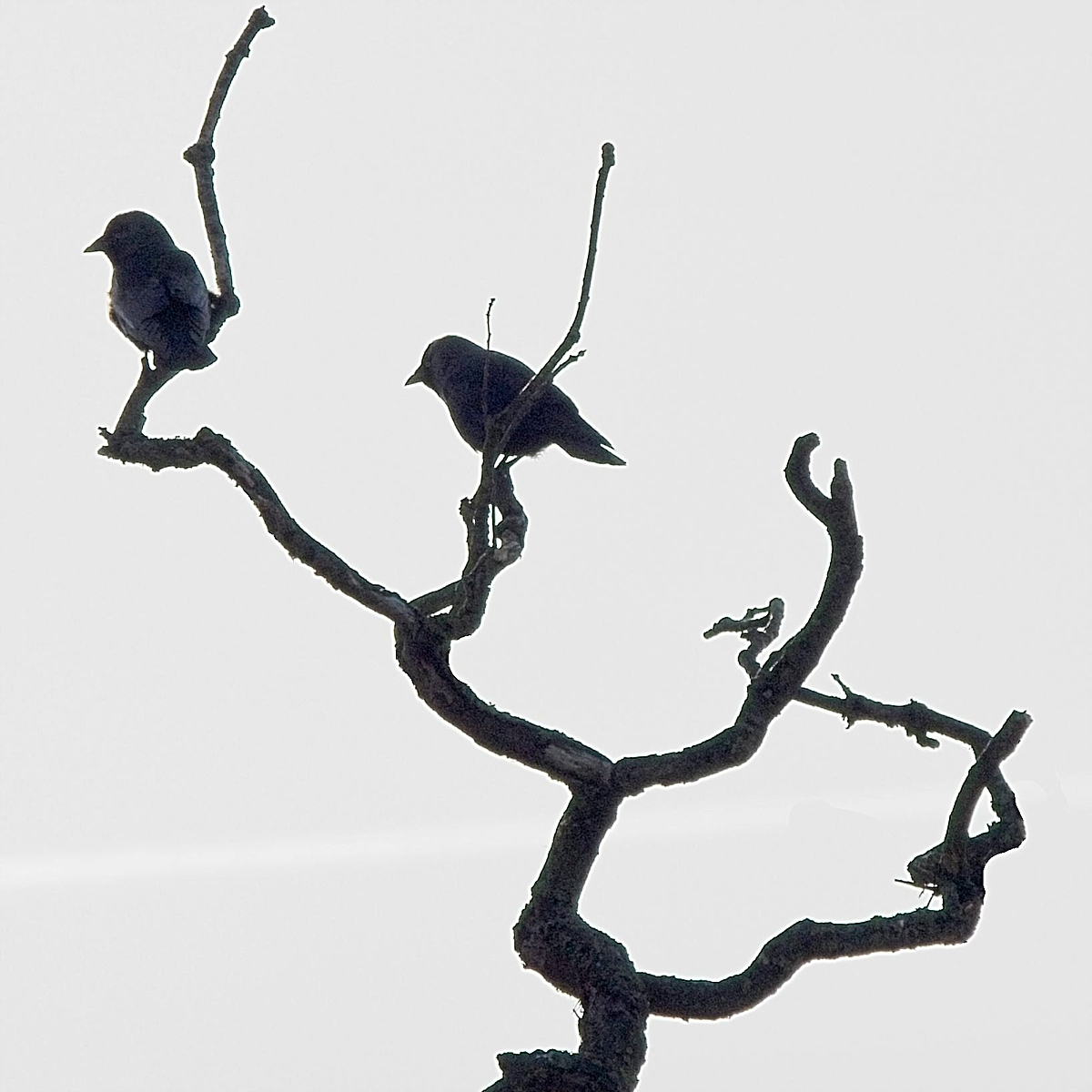 Crows MRS03814
