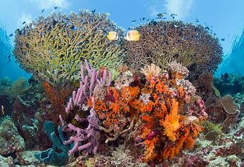 Indonésie - plongée - Wakatobi - Coral r
