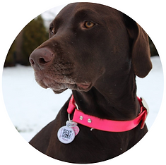 chocolate lab in pethub tag.png