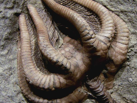 A Crinoid Fossil From 345 Million Years Ago Was Found