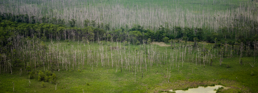 Dead cypress trees from saltwater intrusion