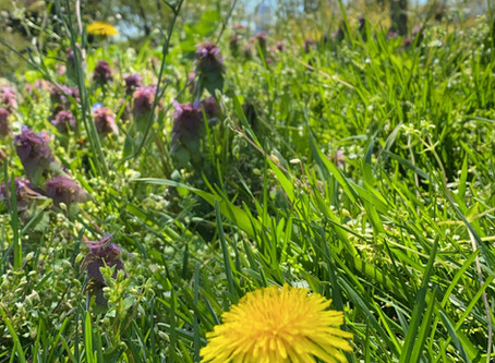 Dandelion – A Flower of Many Names                                   & Healthy in All the Ways