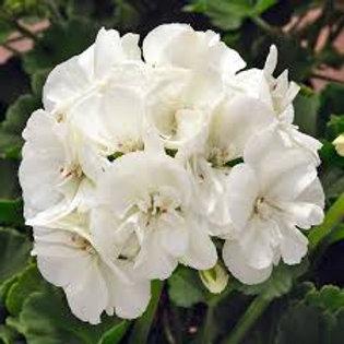 Geranium, Sunrise White