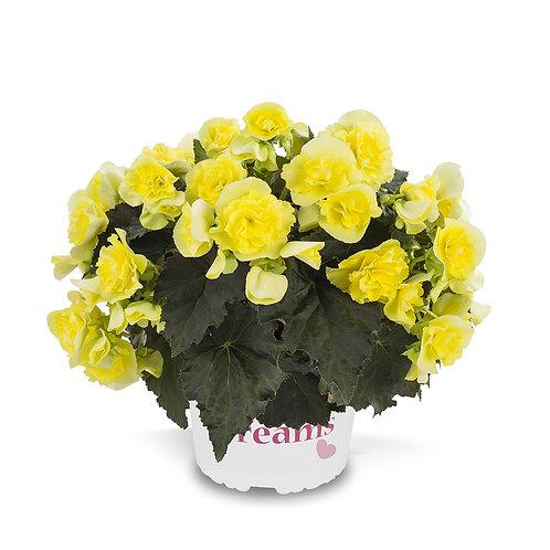 Begonia, Solenia Yellow