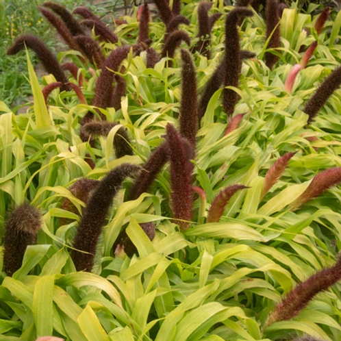 Grass, Millet Jade Princess