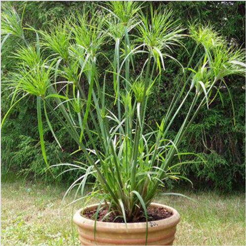 Grass, Cyperus Papyrus