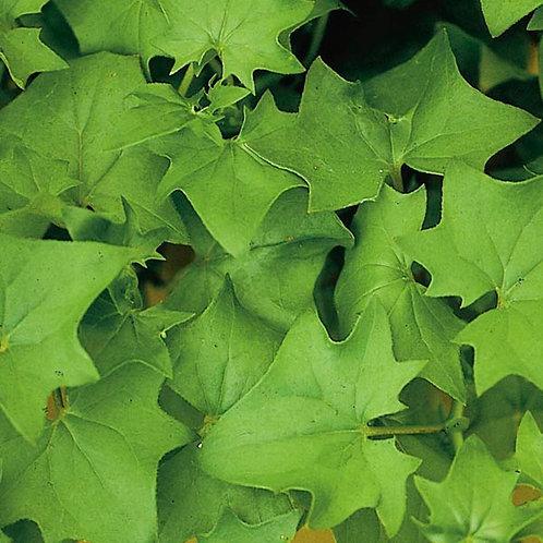 Ivy, German Green Ivy