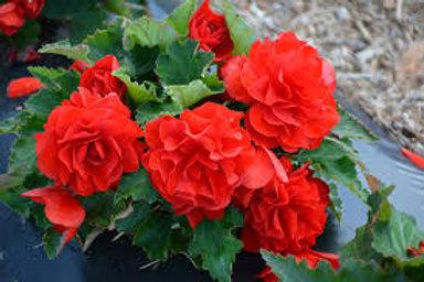 Begonia, Red