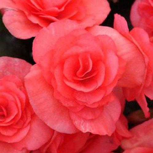 Begonia, Solenia Dark Pink
