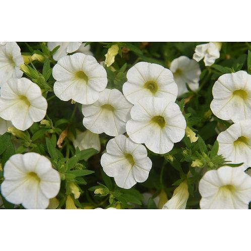 Calibrachoa, White