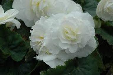 Begonia, White