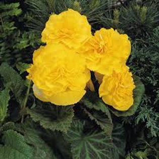 Begonia, Yellow