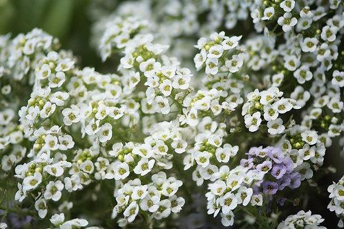 Alyssum, White