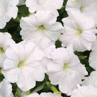 Petunia, Easy Wave White