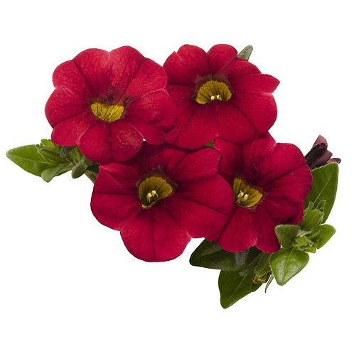 Calibrachoa, Dark Red