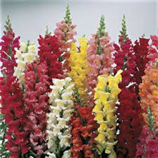 Snapdragon, Liberty Mix