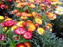 Strawflower, Swiss Giant Mix