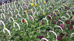 Pansies in full bloom 05/04/16