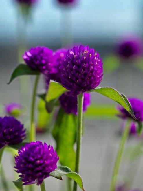Gomphrena Ping Pong Purple