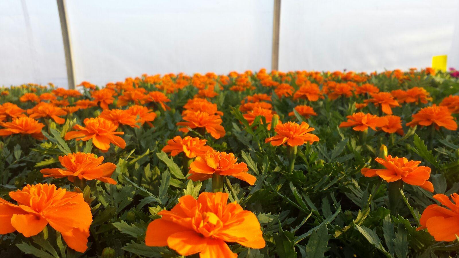 Marigolds 04/26/16