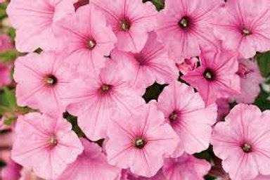 Petunia, Supertunia Vista Bubblegum