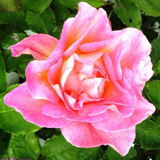 Block Island rose.jpg