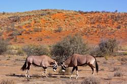 Oryx Duel Below the Dunes