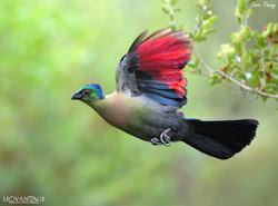 Turaco in flight
