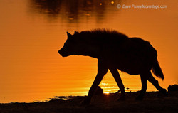 Hyena queen