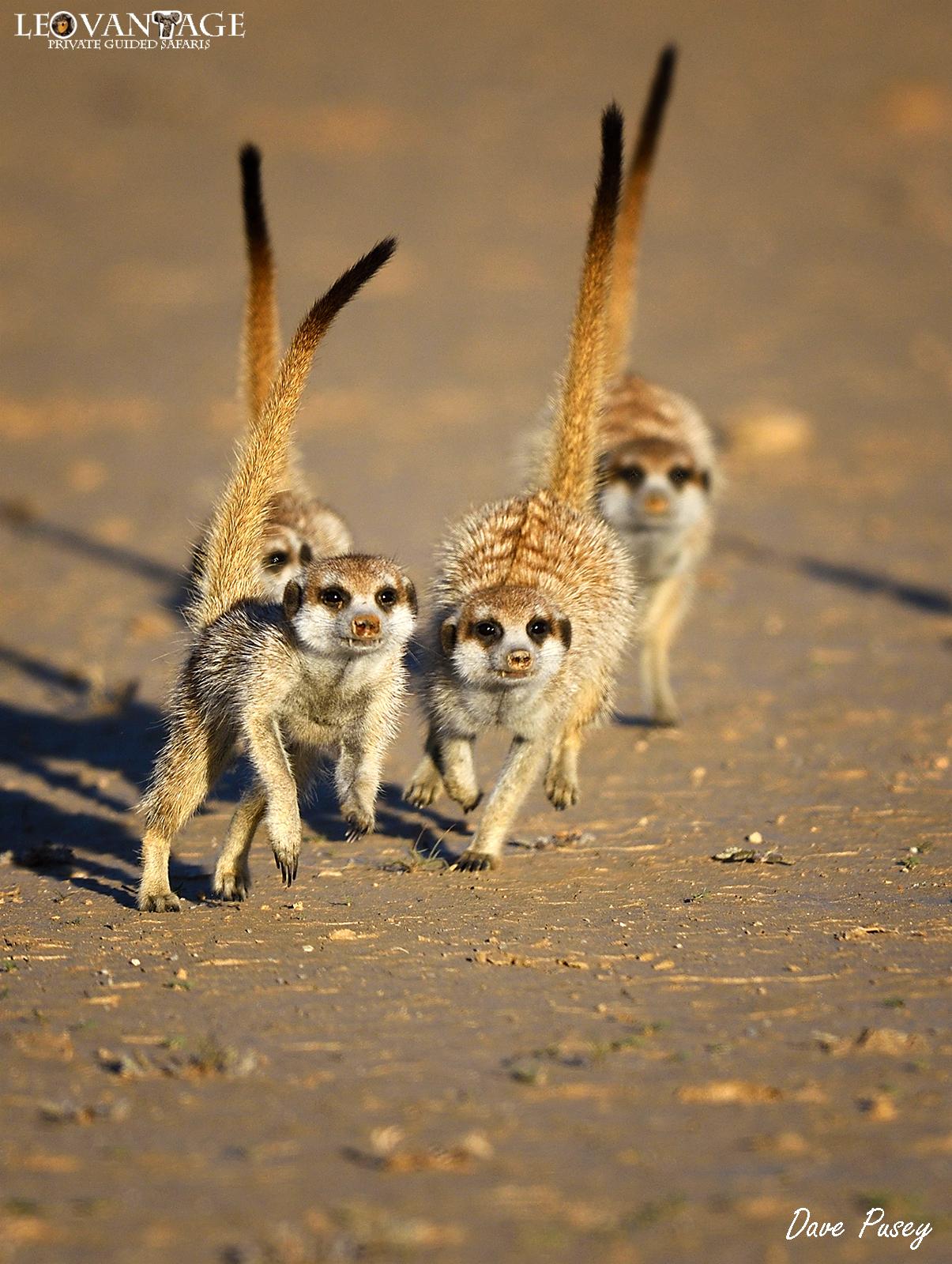 Meerkat sprint