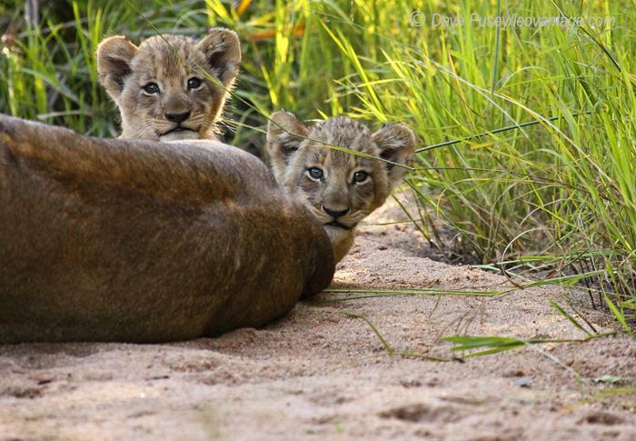 Peeping Cubs