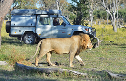 Male lion encounter