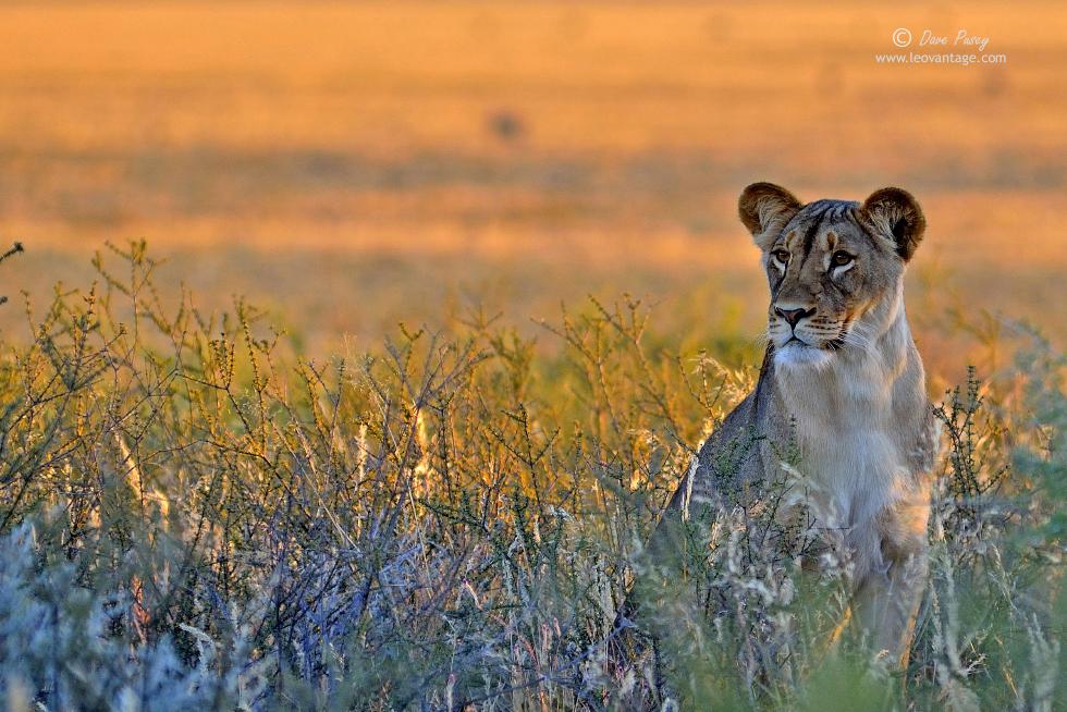 Kalahari beauty