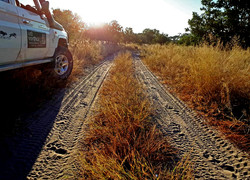 Tracking lions
