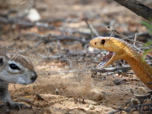 Cape Cobra versus Ground Squirrel