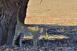 Meira, Kgalagadi Leopardess